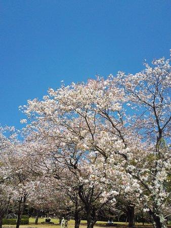 Saito, 일본: 벚꽃과 유채꽃 주변모습