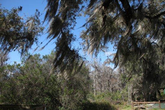 Lake Louisa State Park: Moss Draped Trees