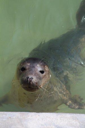 Gweek, UK: Baby seal in nursery pool.