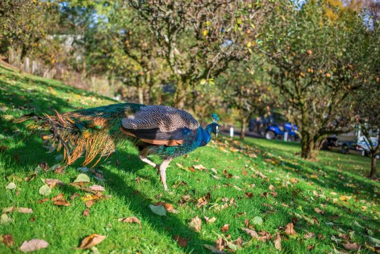 Holsworthy, UK: Peacocks roaming the grounds
