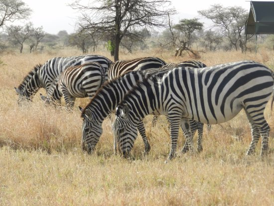The Insight Tanzania Safaris: Zebra grazing at our camp grounds.