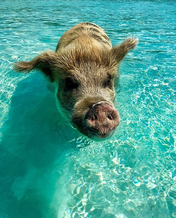 how to get to pig beach bahamas