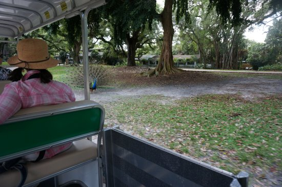 Flamingo Gardens: Start your visit with a pleasant ride on the Tram.