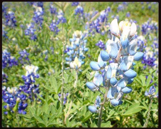 Light blue bluebonnet! - Picture of Bluebonnet Park, Ennis ...