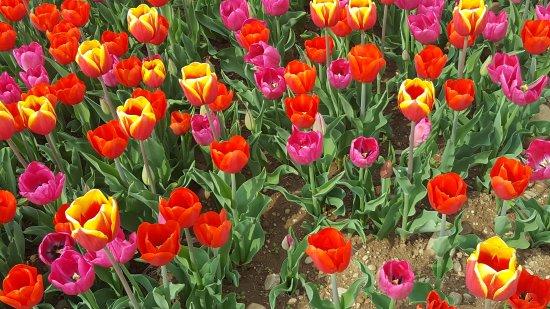 20170402 142929 picture of tulipani italiani for Tulipani italiani