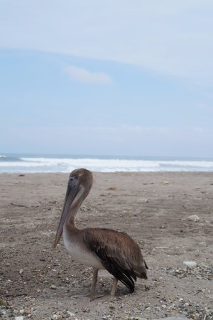 Tsafiki Hosteria: Maurice the photogenic pelican