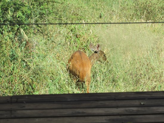 Lion Sands - Tinga Lodge: Impala outside our room.
