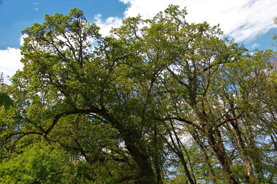 Oregon Garden: Old oak grove