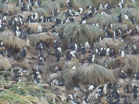 West Falkland, Falkland Islands: ein großes Geschnatter...