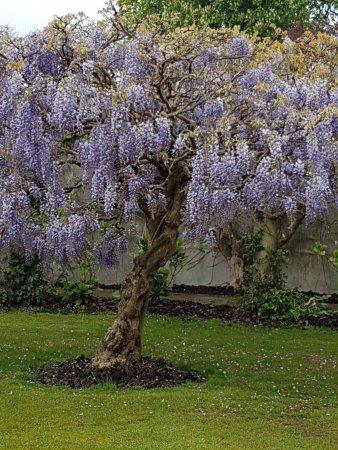 Rolvenden, UK: Wisteria Tree
