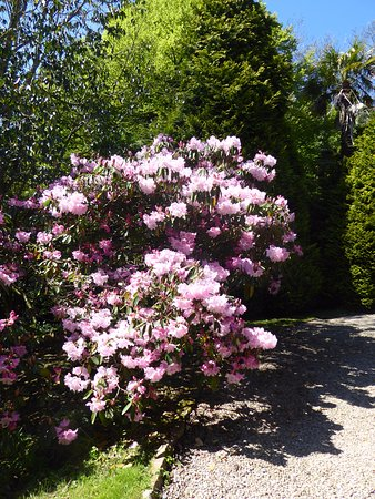 Manaccan, UK: Rhododendrons at Bosahan