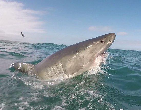 Gansbaai, South Africa: White shark