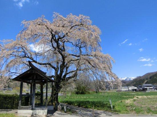 Shidarezakura of Tensho-ji Temple