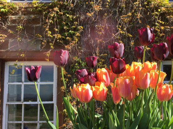 Temple Sowerby, UK: Tulip planting