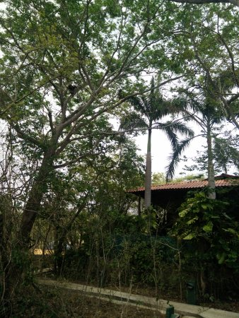 Mundo Milo Eco Lodge: Howler monkeys in the trees over our Lodge