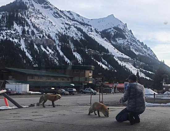 Cooke City, MT: Our Town Foxes