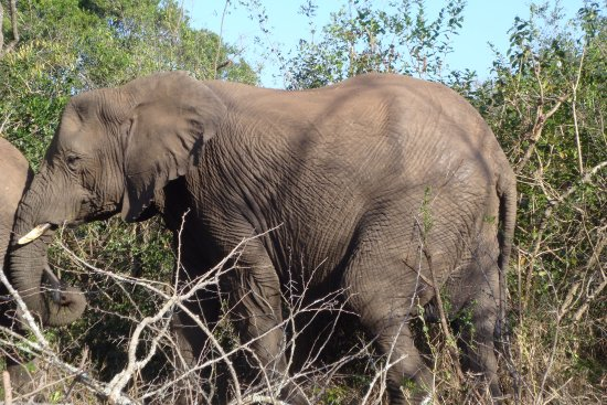 Castleburn Leisure Resort: One of the elephants out of the big herd spotted