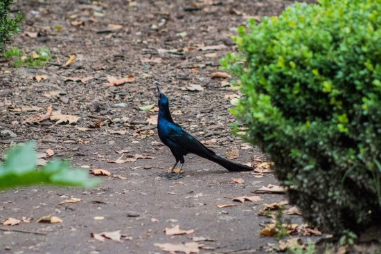 Parque Chapultepec: Mexican grackle/great tailed grackle