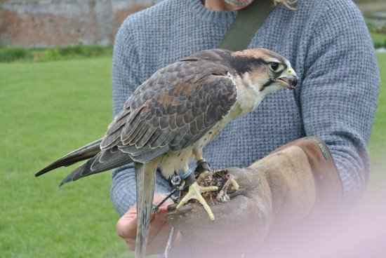 Herstmonceux, UK: Gyrfalcon in action....wow!