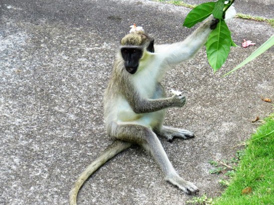 Timothy Beach Resort: One of the Langurs fetching Flowers for Breakfast