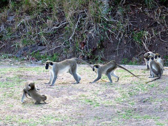 Timothy Beach Resort: A band of monkeys