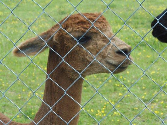 Lot-et-Garonne, ฝรั่งเศส: One of the brown alpacas