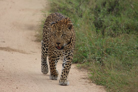 Mala Mala Private Game Reserve, Sydafrika: Leopard