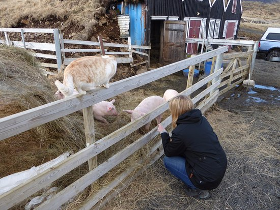 Bifrost, Islandia: There are pigs, cows and sheeps on the farm... and cat's and dogs.