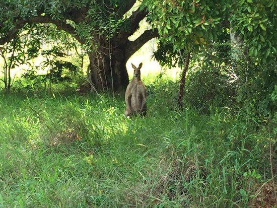 Boreen Point, Australia: This chilled out big fella was munching grass on the walk to Mill Point