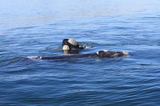 Hermanus, Zuid-Afrika: Whale season 2017 - spotted mother and calf 4 May