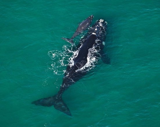 Whale with calf in old habour Hermanus - 4 May 2017