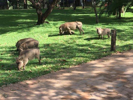 Lokuthula Lodges: wart hogs roaming around