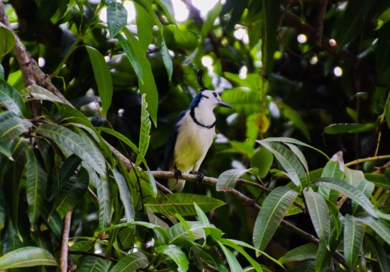 Hotel Amor de Mar: White Thoated Magpie Jay