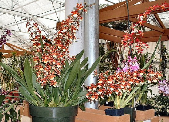 Akatsuka Orchid Gardens: Some of the variety inside the greenhouse.