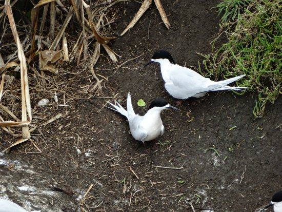 Muriwai Beach, นิวซีแลนด์: Ster