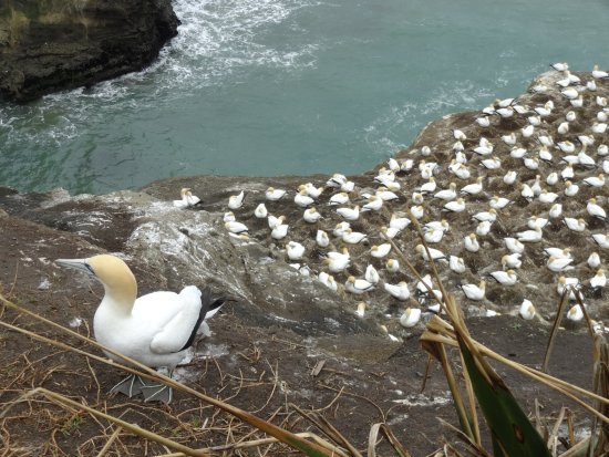 Muriwai Beach, นิวซีแลนด์: Gannet Colony