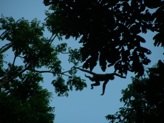 Congo Bongo Ecolodges Costa Rica: Spider Monkey making the big leap, right next to the Dream Palm House