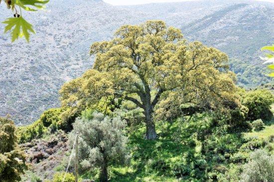 Danakos, اليونان: un des très grandset anciens arbres sur les lieux du monastère de Fotodolis