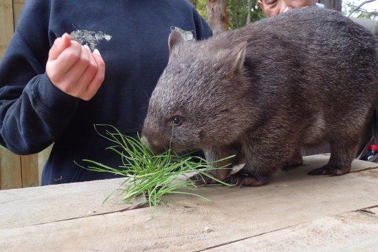 Trowunna Wildlife Park: Wombat