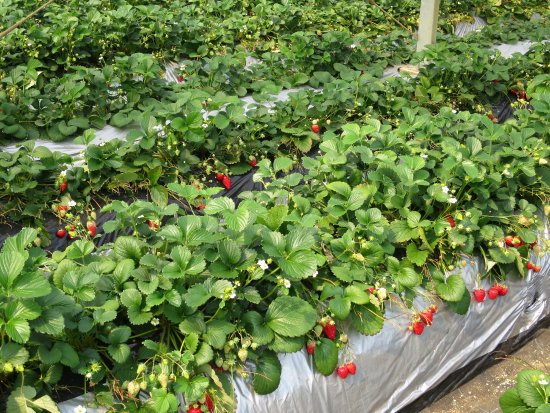 Isoyama Strawberry Farm