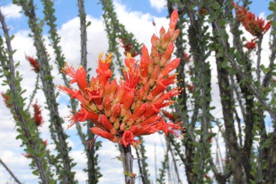 Clarkdale, AZ: ocotillo in full spring bloom