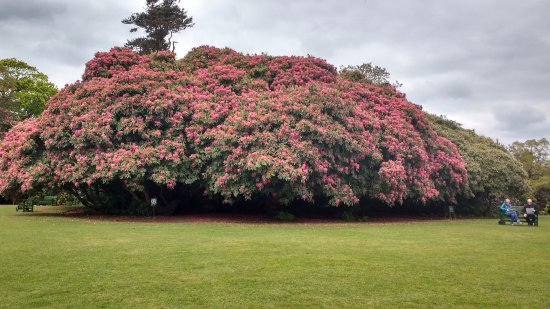 St Austell, UK: Hundreds of years old rhododendron