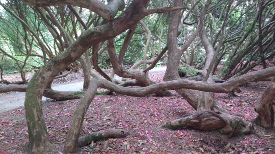 St Austell, UK: Rhododendrons