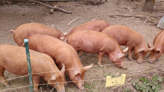 St Austell, UK: Pigs