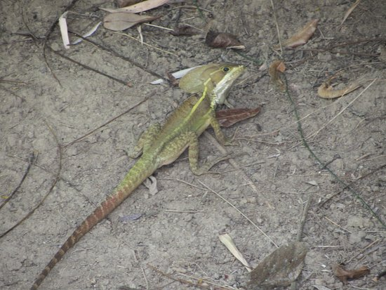 Table Rock Jungle Lodge : Lots of lizards about the property