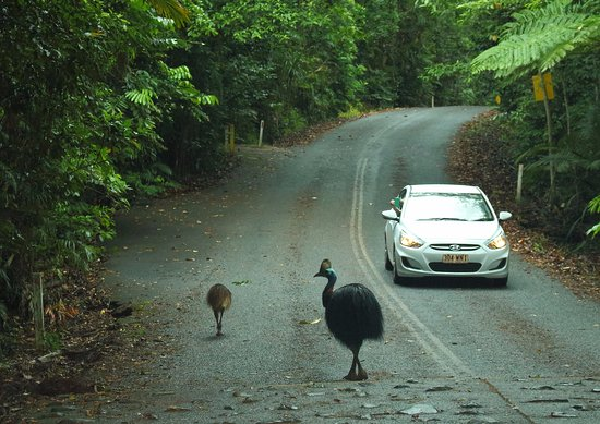 Daintree Discovery Centre: Cassowary on road to visitor centre