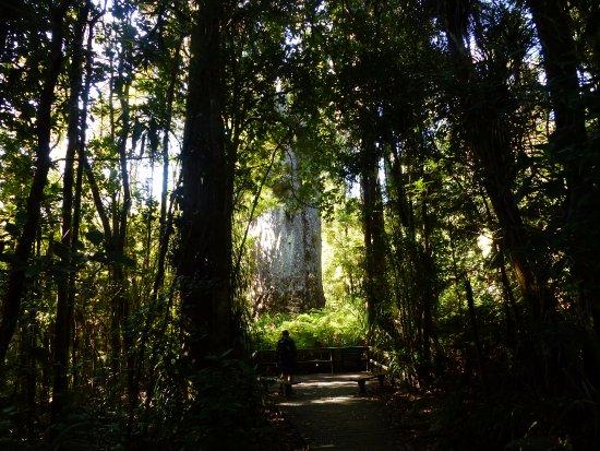Waipoua Forest, New Zealand: El abuelo Kauri