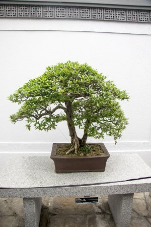 Montreal, Kanada: Bonsai Tree