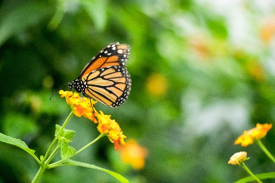 Montreal, Kanada: Monarch butterfly