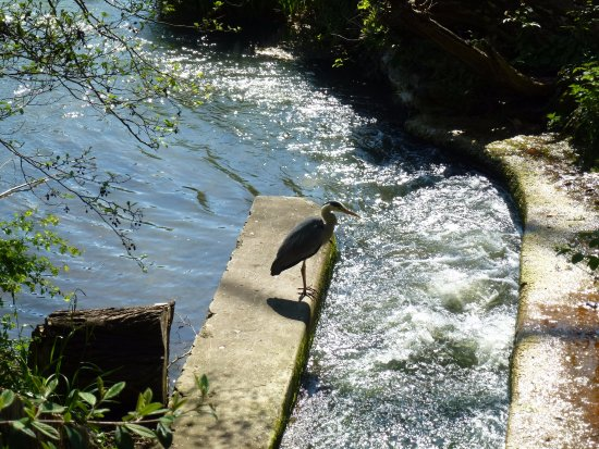 Leam Boat Centre: Heron on Fish Pass by blue bridge